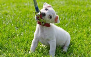 Как приучить собаку к поводку и ошейнику – полезные советы и лайфхаки